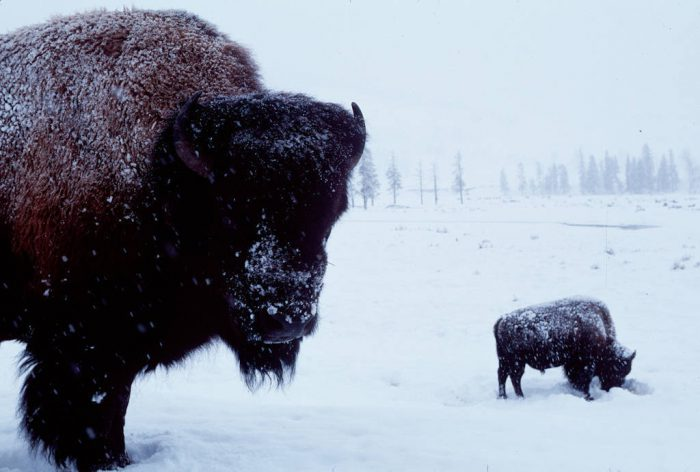 Photo: Bison in Yellowstone National Park in winter.