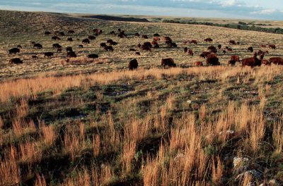 Photo: Bison graze at the Big Basin Prairie Preserve along the Kansas-Oklahoma border.