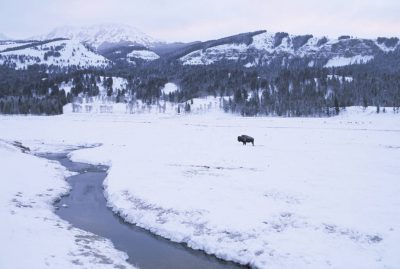 Photo: Bison in Yellowstone National Park's Lamar Valley in winter.