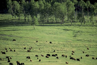 Photo: Bison in Yellowstone National Park's Lamar Valley.