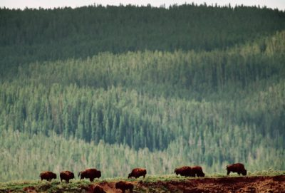 Photo: Bison in Yellowstone National Park's Fountain Flats area.