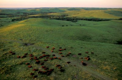 Photo: Aerial of bison at the tallgrass Konza Prairie in Kansas.