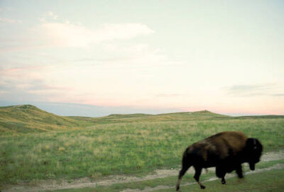 Photo: Bison at the tallgrass Konza Prairie preserve in Kansas.
