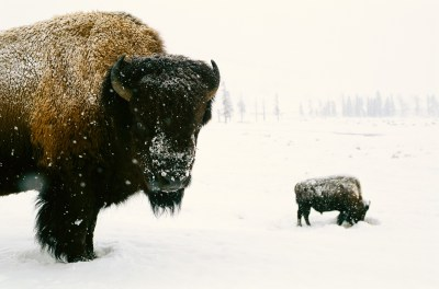 Photo: Bison in winter in Yellowstone National Park's Lamar Valley.