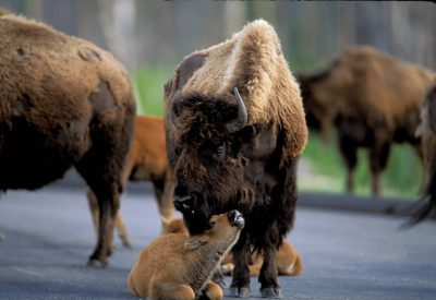 Photo: Bison in Yellowstone National Park.