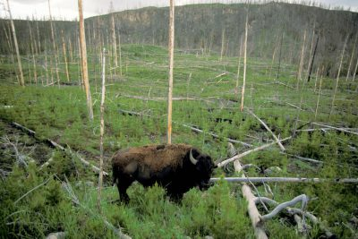 Photo: A bison wanders around a patch of land recovering from previous forest fires in Yellowstone National Park.