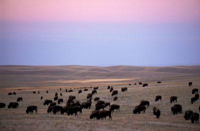 Photo: A herd of bison grazes on the prairie near Wheatland, Wyoming.