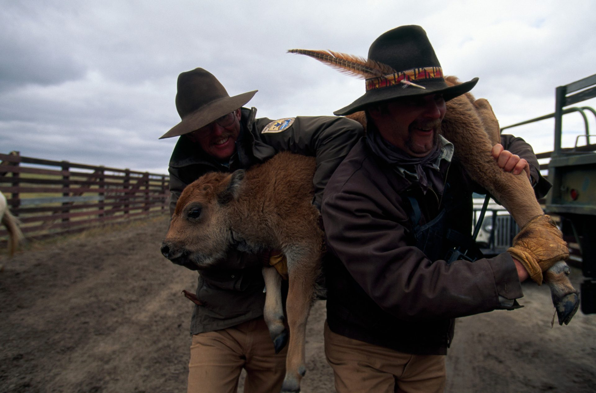 Photo: A bison calf is carried back to a pen to join its mother at the Fort Niobrara NWR in Nebraska.