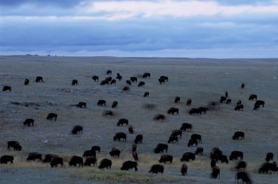 Photo: A herd of bison grazes on the prairie near Wheatland, Wyoming.
