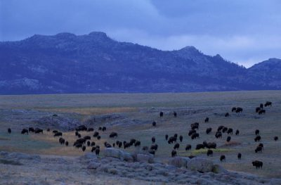 Photo: A herd of bison at Twin Pines Ranch near Wheatland, Wyoming.
