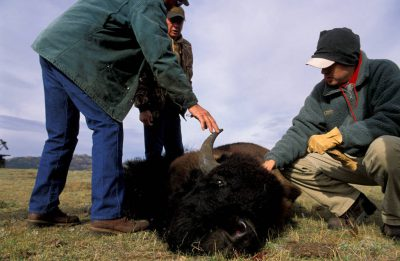 Photo: A bison hunt at Twin Pines Ranch near Wheatland, Wyoming.
