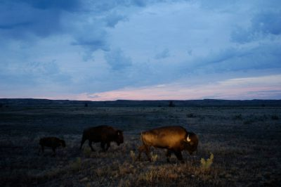 Photo: Bison graze on a ranch near Malta, MT. The aim of the project, a joint effort between of the American Prairie Foundation and The World Wildlife Fund is to triple the size of the herd and allow them to roam free across the Upper Missouri River Breaks ecosystem.