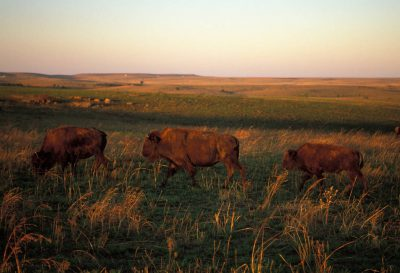 Photo: Bison mother and calf graze at Tallgrass Prairie Preserve near Pawhuska, Oklahoma.