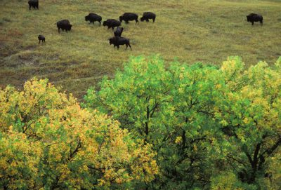 Photo: Bison graze at Fort Niobrara National Wildlife Refuge in Nebraska.