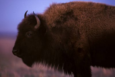Photo: A bison grazes at the Tallgrass Prairie Preserve in Oklahoma.