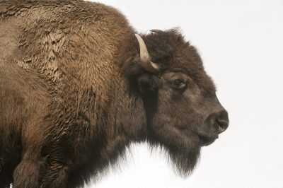 Photo: American bison (Bison bison) at the Buffalo Zoo.