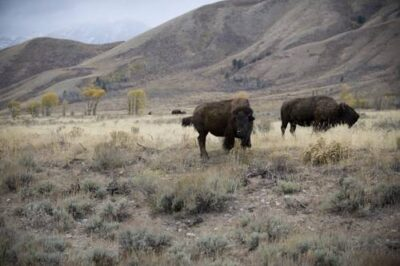 Photo: Bison (Bison bison) on federal land near Jackson Hole, Wyoming.