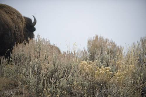 Photo: Bison (Bison bison) on federal land near Jackson Hole, Wyoming.