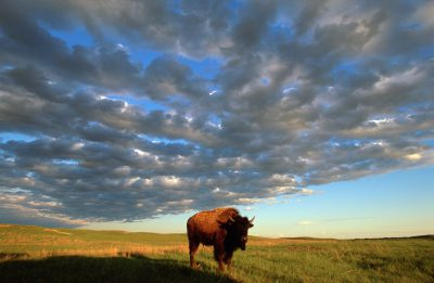 Picture of a Bison at the Fort Niobrara National Wildlife Refuge in Nebraska near Valentine, Nebraska.