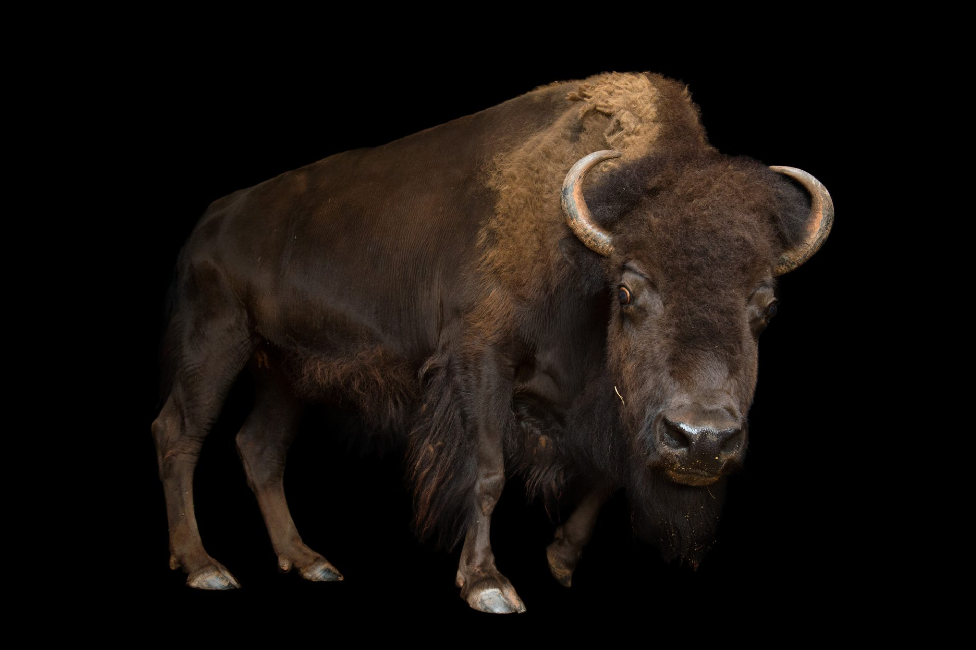 Picture of an American bison (Bison bison) at the Oklahoma City Zoo.