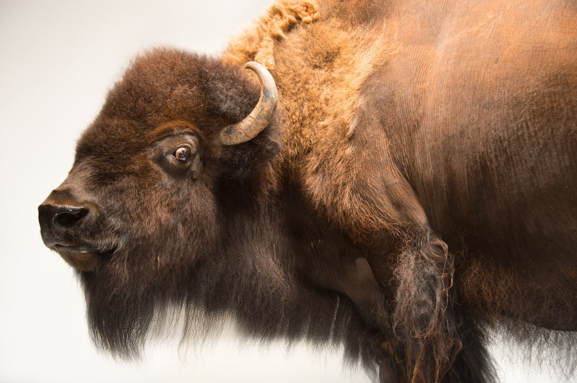 Picture of a female American bison (Bison bison) named Mary Ann at the Oklahoma City Zoo.