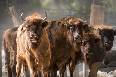 Photo: Vulnerable European wisent (Bison bonasus) at the Madrid Zoo.