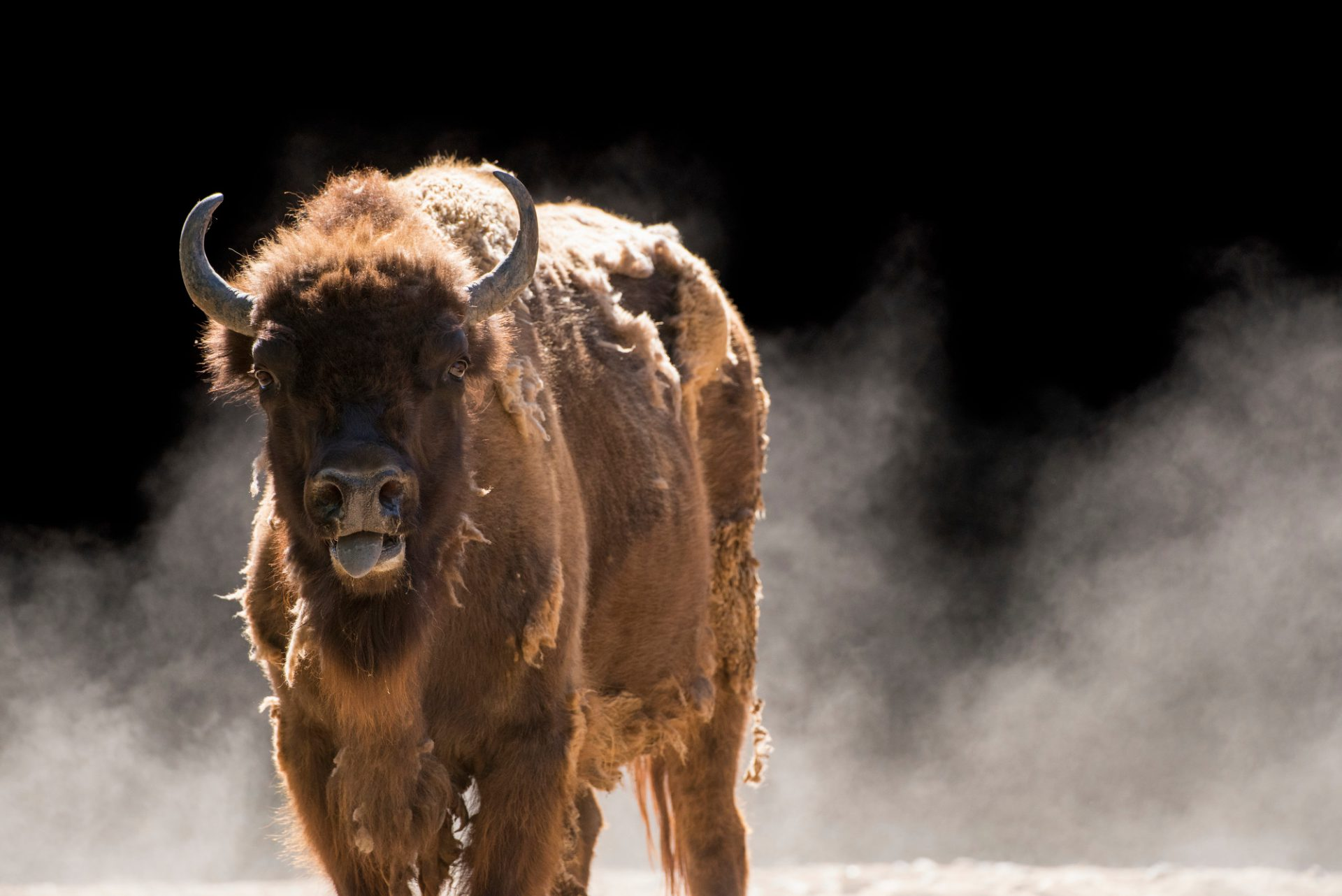 Photo: A vulnerable European wisent (Bison bonasus) at the Madrid Zoo.