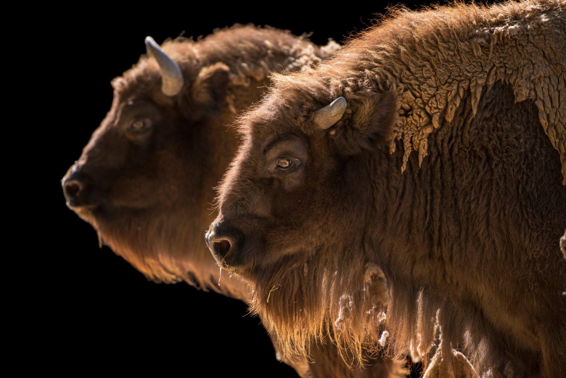 Photo: Vulnerable European wisent (Bison bonasus) at the Madrid Zoo.