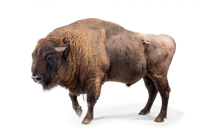 Photo: A male European bison (Bison bonasus) at Parco Natura Viva in Bussolengo, Italy.