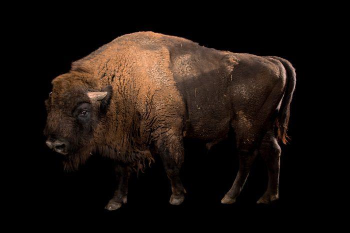 Photo: A male European bison (Bison bonasus) at Parco Natura Viva in Bussolengo, Italy.