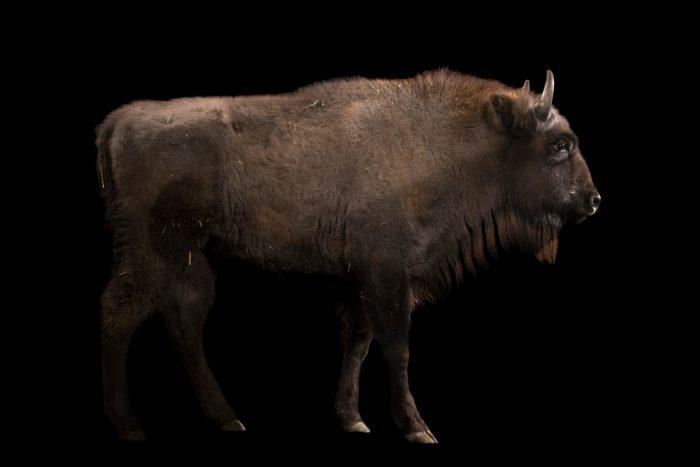 Photo: A European bison calf (Bison bonasus) at Parco Natura Viva in Bussolengo, Italy.