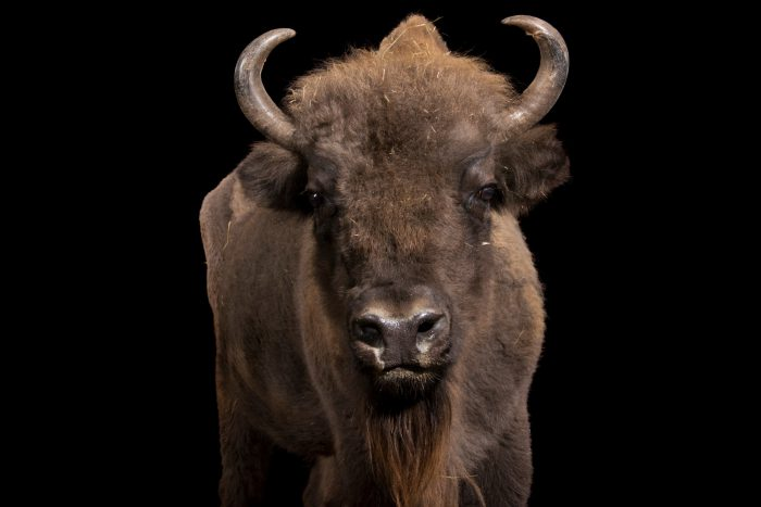 Photo: A female European bison (Bison bonasus) Parco Natura Viva in Bussolengo, Italy.