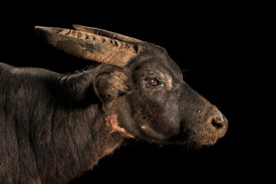Photo: A critically endangered 18-year-old male tamaraw or Mindoro dwarf buffalo (Bubalus mindorensis) at Tamaraw Gene Pool Farm.