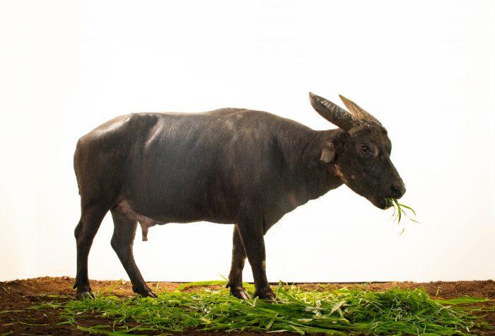 Photo: Kalibasib (Nickname is Kali), an 18-year-old male tamaraw or Mindoro dwarf buffalo, Bubalus mindorensis, at Tamaraw Gene Pool Farm on Mindoro Island in the Philippines.