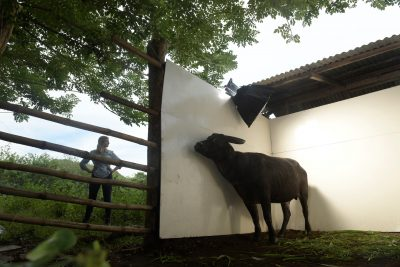 Photo: Kalibasib (Nickname is Kali), an 18-year-old male tamaraw or Mindoro dwarf buffalo, Bubalus mindorensis, at Tamaraw Gene Pool Farm on Mindoro Island in the Philippines.