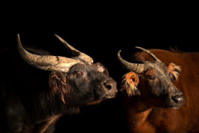 Photo: A male and female African forest buffalo (Syncerus caffer nanus) at the Lisbon Zoo.