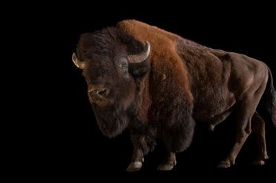 Photo: A wood bison (Bison bison athabascae) at Tierpark Berlin.