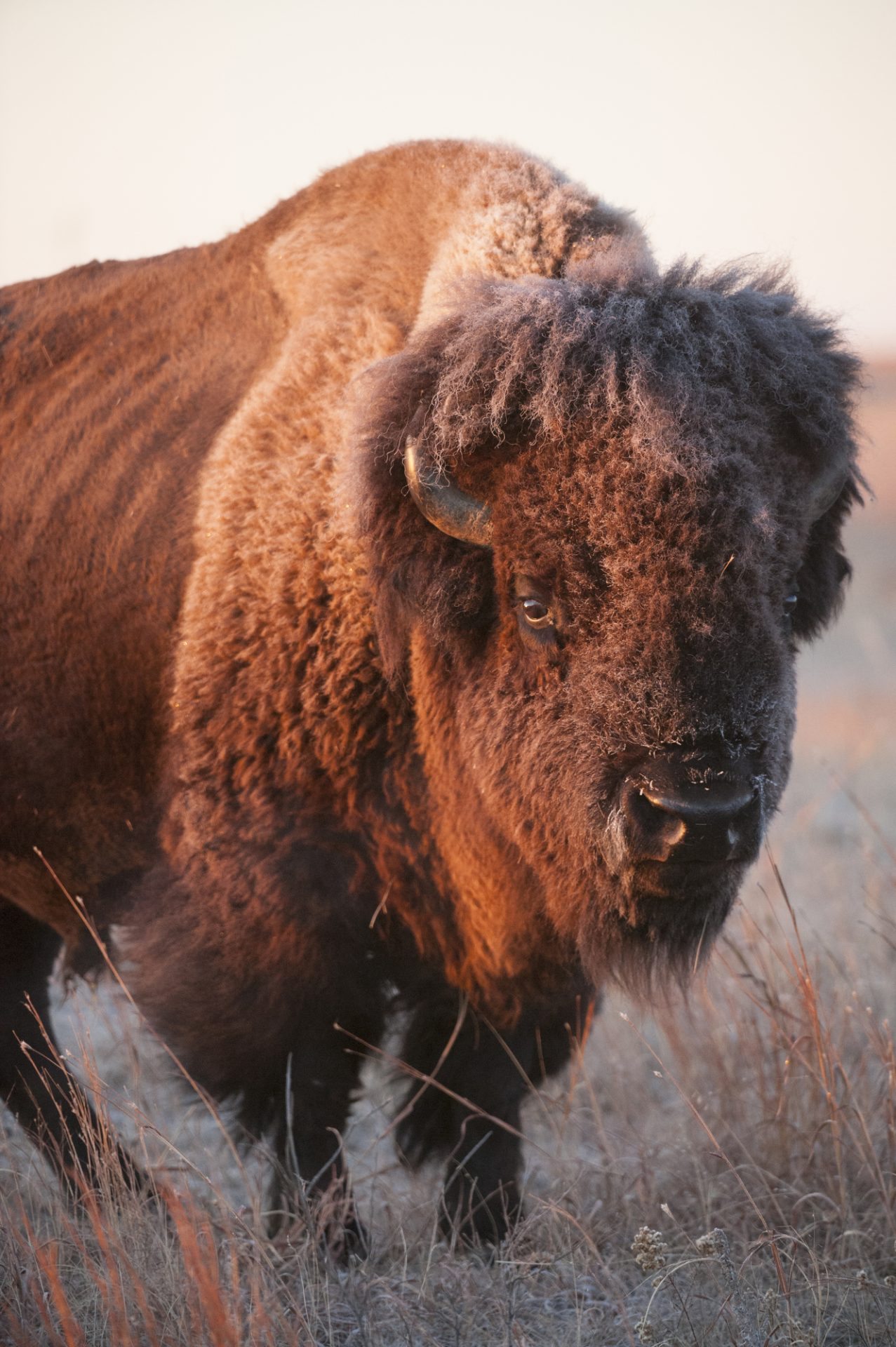 Photo: A portrait of a bison on a ranch near Valentine, Nebraska.