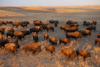 Photo: A herd of bison roam on a ranch near Valentine, Nebraska.