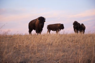 Photo: Three bison roam on a ranch near Valentine, Nebraska.