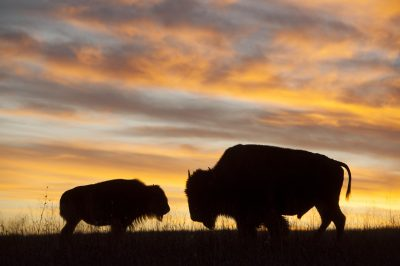 Photo: A silhouette of a two bison at sunset near Valentine, Nebraska.