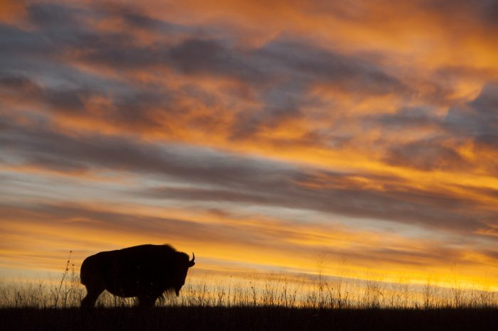 Photo: A silhouette of a bison at sunset near Valentine, Nebraska.