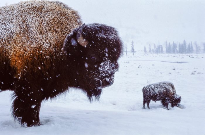 Photo: Bison (Bison bison) in the snow.