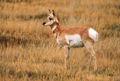 Photo: Pronhorn antelope at the Bowdoin NWR near Malta, MT.