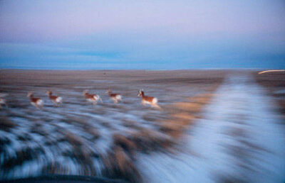 Photo: Pronghorn antelope run through a section of the Jonah Fieldnear Pinedale, Wyoming.