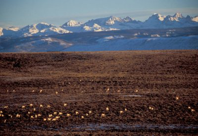 Photo: Pronghorn antelope on the Pinedale Anticline near Pinedale, WY. The area is being drilled for gas.