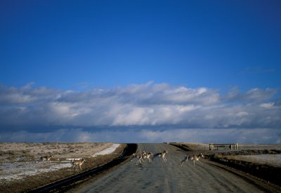 Photo: Pronghorn antelope cross a road on the Pinedale Anticline near Pinedale, WY. The area is being drilled for gas.