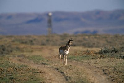 Photo: A pronghorn antelope in the road leading to a drilling rig near Buffalo, WY.