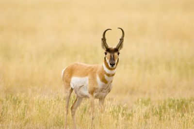 Photo: A male pronghorn antelope, near the Charles M. Russell National Wildlife Refuge.