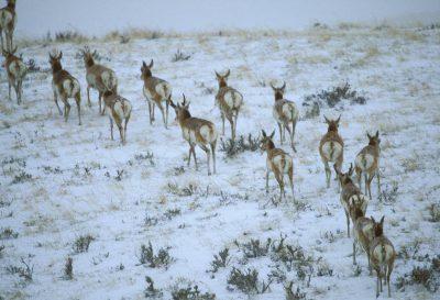 Photo: Pronhorn antelope near Decker, MT (an area threatened by coal bed methane development.)